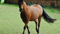 تربية الخيول في البلاد التونسية