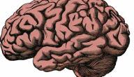 الفرق بين العقل والمخ