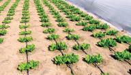 تقرير عن الزراعة في الإمارات