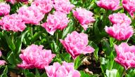 تنوع النباتات الزهرية