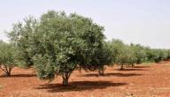 أنواع أشجار الزيتون