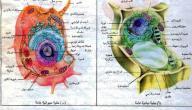 ما الفرق بين الخلية الحيوانية والخلية النباتية