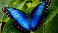 معلومات عن الفراشة