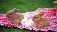 اسم صغير الأرنب