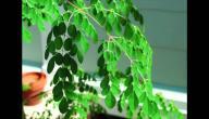 طريقة استخدام شجرة المورينجا