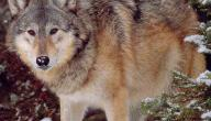 معلومات عن الذئب