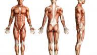 كم عدد عضلات جسم الإنسان