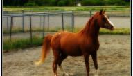 أحسن حصان في العالم