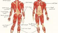 عدد عضلات جسم الإنسان