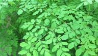 أضرار نبات المورينجا