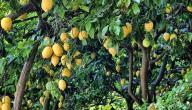 شجر الليمون