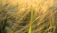 أضرار جنين القمح