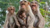 حياة القرود