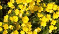 فوائد زهرة الربيع