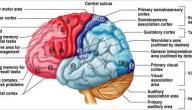 مم يتكون الجهاز العصبي