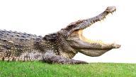 اكبر تمساح في العالم