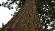 اضخم شجرة في العالم