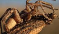 عدد أرجل العنكبوت
