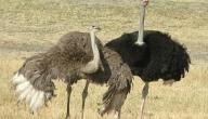 ما هو أكبر طائر في العالم