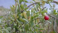 معلومات عن نبات العوسج