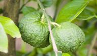 فوائد ورق الليمون