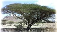 معلومات عن نبات السمر