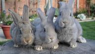 كيف أعرف أن الأرنب ذكر أم أنثى