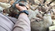 صيد الوعول