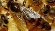 غذاء ملكات النحل للأطفال