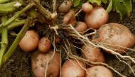 طريقة زراعة البطاطس
