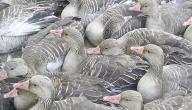 صيد الطيور في العراق