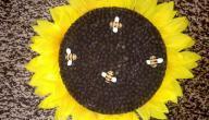حلى دوار الشمس