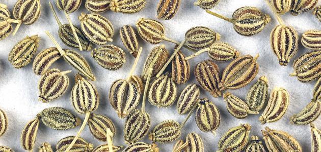 فوائد بذر الخلة