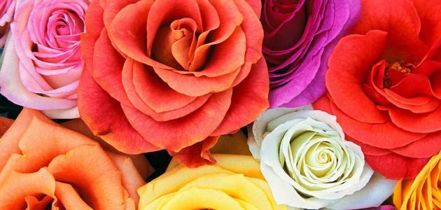 أجمل الورود في العالم
