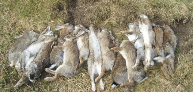 صيد الأرانب بالبندقية