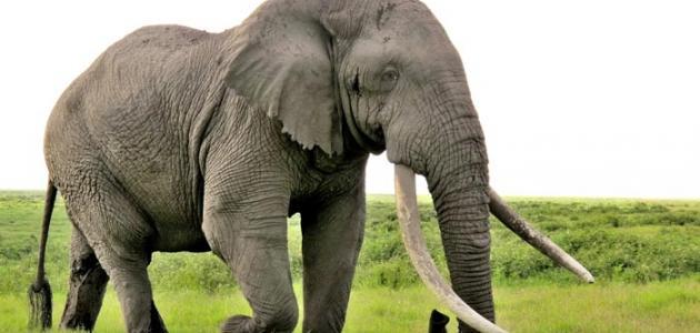 معلومات عن حيوان الفيل