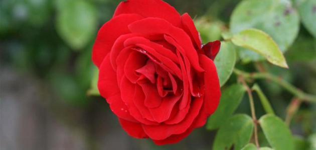 معلومات عن الورد الجوري
