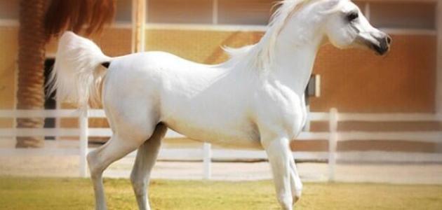 صفات الخيول الأصيلة