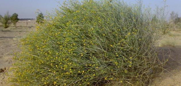 معلومات عن نبات العرفج