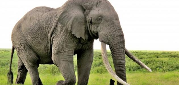 ماذا يسمى صوت الفيل