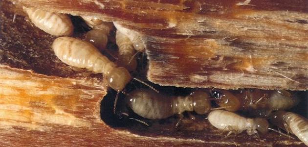 أضرار النمل الأبيض