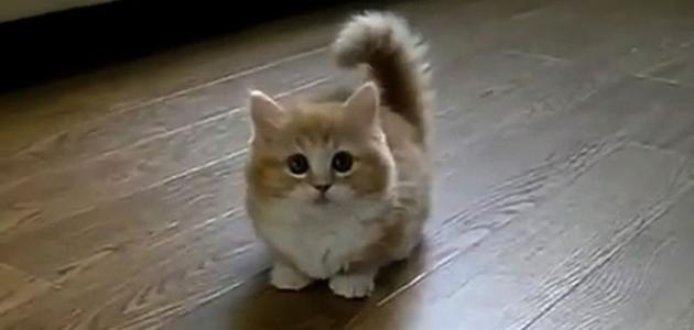 هل القطط نجسة