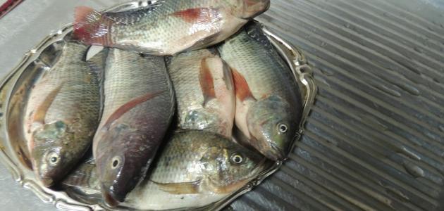 صيد سمك البلطي