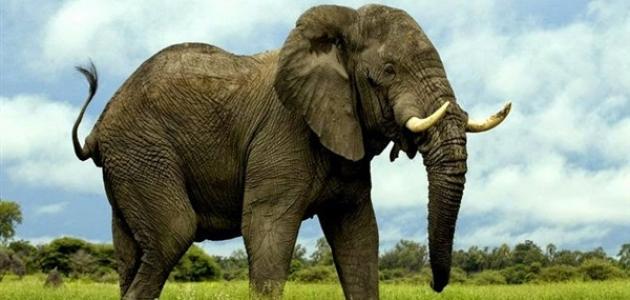 ما اسم صوت الفيل