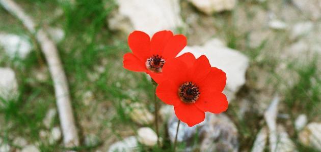 زهرة شقائق النعمان