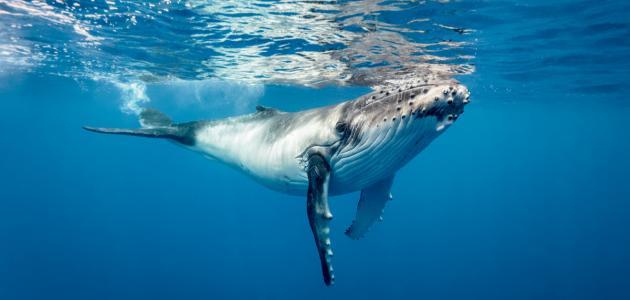 كم وزن الحوت الأزرق