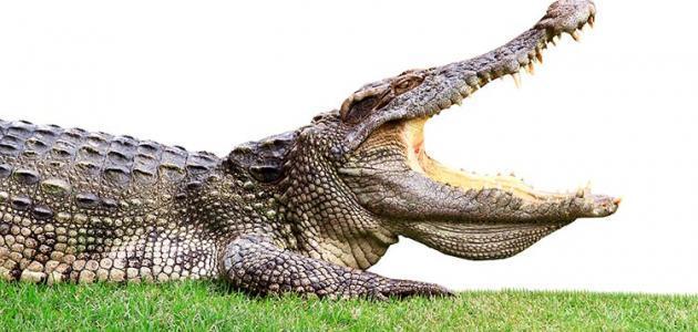 كم عدد أسنان التمساح