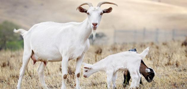 كم مدة حمل الماعز موضوع