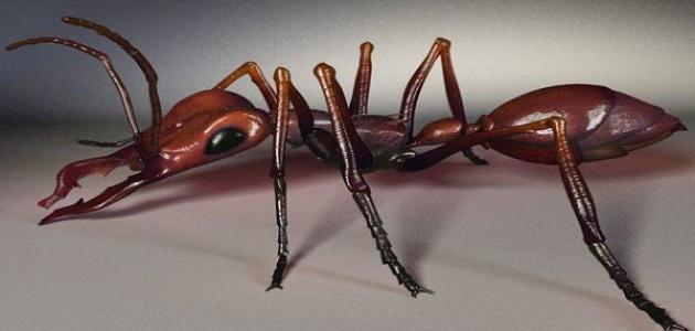 كم عدد أرجل النملة