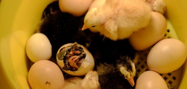 صنع فقاسة بيض منزلية